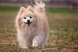 Un chien de race spitz nain beige coure dans l'herbe par coach canin 16 éducateur canin