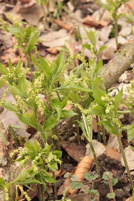 Wald-Bingelkraut (Mercurialis perennis), Waldwegrand im Albtal zwischen Fischweier und Neurod (G. Franke, 13.03.2016)