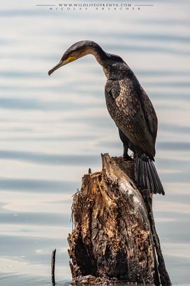 white-breasted cormorant, great cormorrant, cormoran à poitrine blanche, cormoran grande, Nicolas Urlacher, wildlife of Kenya, birds of Kenya, birds of africa