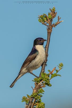 eastern violet-backed sunbird, Anthreptes orientalis, souimanga du kenya, birds of kenya, wildlife of kenya