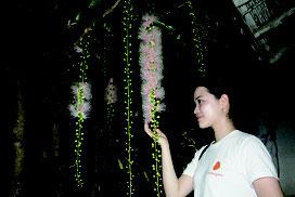 甘い香りを放ちながら、ピンク色の花を咲かせるサガリバナ=21日夜、石垣市登野城の西表明さん宅
