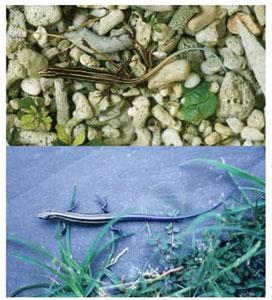 センカクトカゲ(上、北小島産)とアオスジトカゲ(下、台湾産)の写真。いずれも幼体(栗田氏ら提供)