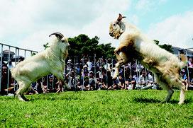 勢いよく角をぶつけ合う闘ヤギ=4月30日、中央運動公園