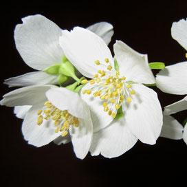 Das ätherische Öl der Jasminblüte enthält Benzylalkohol, ein natürliches Konservierungsmittel