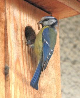 """Unser Vogelwelt ist nicht nur wunderschön anzusehen - und meist auch anzuhören, - sie hilft Haus- und Kleingärtnern kostenlos, """"Mitesser"""" an Obst, Gemüsen und Zierpflanzen im Zaum zu halten.  Foto: oeg/Gartenstadt"""