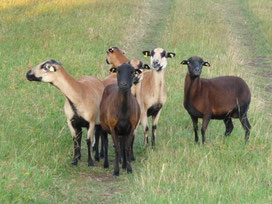 """""""Leere"""" Schafe kurz vor dem Belegen."""