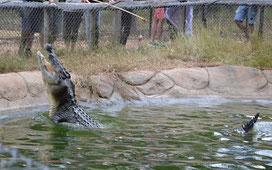 Krokodilfütterung im Billabong Sanctuary