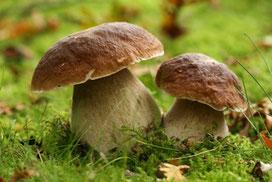 gite à vassivière pour cueillir des champignons