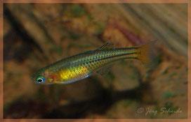 gertrudae Aru