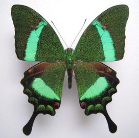 Papilio palinurus オビクジャクアゲハの標本写真