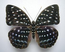 Lexias bangkana バンカナオオイナズナマの標本写真