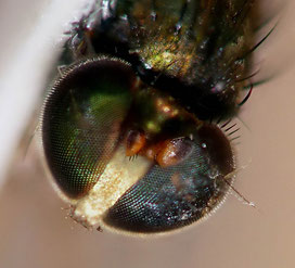 Dolichopus sp. ♂