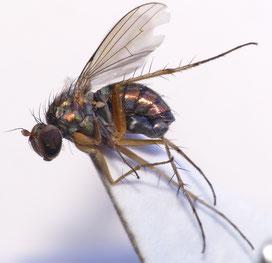 アシナガキンバエ Dolichopus nitidus ♂