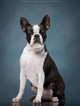 бостон терьер, бостонский терьер, бостон, питомник бостонов, щенки бостон терьера, щенки бостона, терра балтика, terra baltika, boston terrier, boston terrier puppies