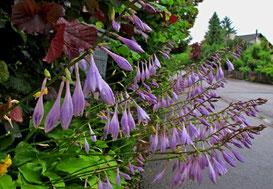03. Juli 14 - Regen - auch Blumen lassen ihre Köpfe hängen