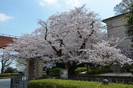 霧笛楼の芸亭の桜
