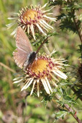 ein Brauner Feuerfalter besucht Blüten der Golddistel -Carlina vulgaris, bei Dietlingen (G. Franke, 31.08.2011)