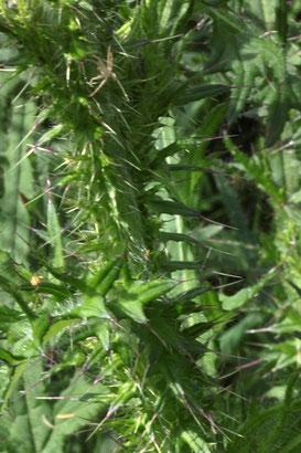 Stengel der Sumpf-Kratzdistel - Cirsium palustris (G. Franke, 02.06.2018)