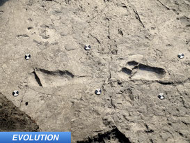 New Footprints Discovered in Laetoli