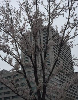 桜(江戸彼岸)越しに仰ぎ見る厚労省