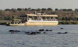 Hippos vor großem Boot