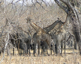 Many giraffes under a tree