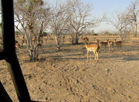 Impalas close to the car