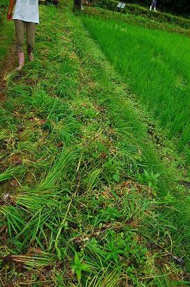 刈った草もまばらに薄く畦に広げています