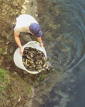 Fischbesatz ins Fließgewässer