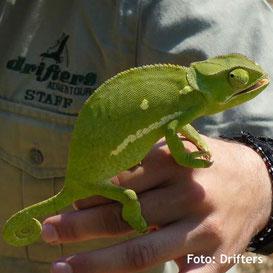 Zimbabwe Campingsafaris Tierwelt in Zimbabwe - Chamäleon