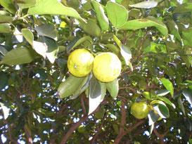 今年の柚子は数が少ない分やや大きい