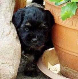 Tibet Terrier Welpe aus dem F-Wurf du joyeux Berger