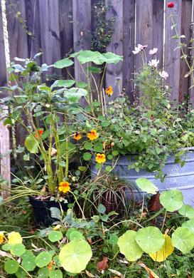 Kapuzinerkresse, Zinnwanne, Holzzaun, schöner Garten
