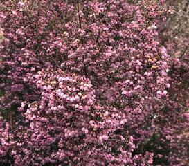 新宿御苑に咲く巨大なヘザー(ジャノメエリカ)