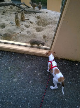 Isandro besucht die Erdmännchen