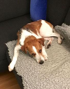 Iberico kuschelt lieber auf dem Sofa zum Geburtstag