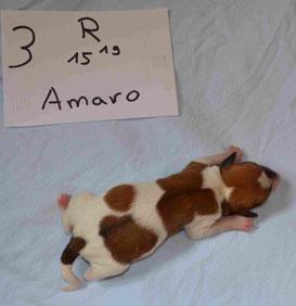 Rüde Amaro