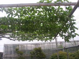 パーゴラの全体 果実が267個