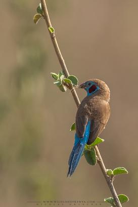red-cheeked cordon-bleu, cordonbleu à joues rouges, azulito carirrojo
