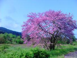 Blühender Judasbaum im Honigtal