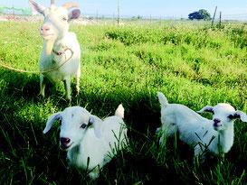 竹富町が波照間島でヤギ振興を進める。写真は石垣市内のヤギ(資料写真)
