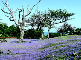 ヒメキランソウの花が開花を始めた=8日午後、崎原公園