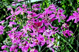 鮮やかなピンク色の花を咲かせたトックリキワタ=18日午後、石垣市登野城