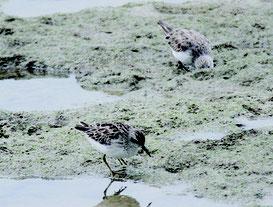 エサをついばむヒバリシギ=10日、新川川河口