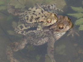 Erdkrötenpaar im Laichgewässer, Foto O. Reinhard