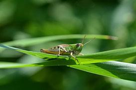 Weltweit gibt es rund 28.000 Arten von Heuschrecken.