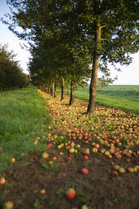 Fallen apples at the Claque-Pepin Calvados estate