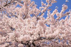 桜コンサルティング