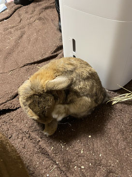 毛づくろいをするウサギ