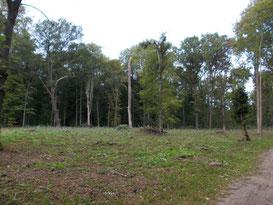 Flächenhafte Baumfällungen sind zunächst ein schwerwiegender Eingriff, ermöglichen aber das Wachstum junger, standorttypischer Bäume. Unterschiedlich alte Bestände führen dann zu größerer Biodiversität im Wald. Foto: René Sievert